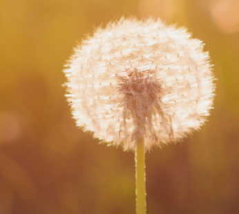The Benji Project - Photo of a Dandelion going to seed.