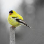 Gold Finch by LucaCampbell - Chimacum
